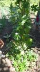 snake bean plant